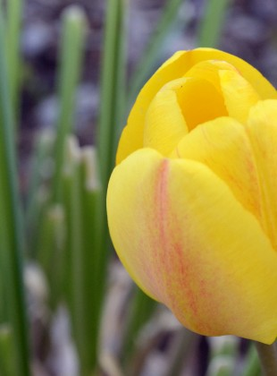 Einsame Tulpe Gelb