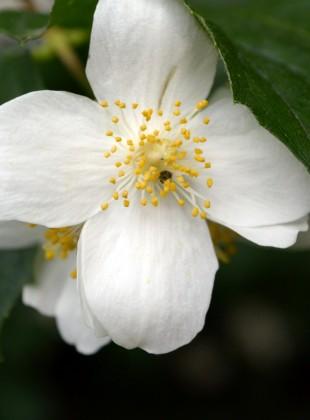 Schüchterne Blume